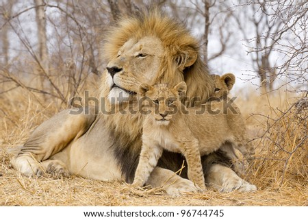 Male African Lion (Panthera leo) with cubs, South Africa