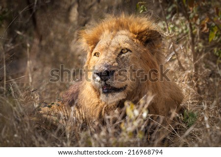 Male African Lion (Pathera leo) seated in the bush of the Kruger National Park, South Africa - stock photo