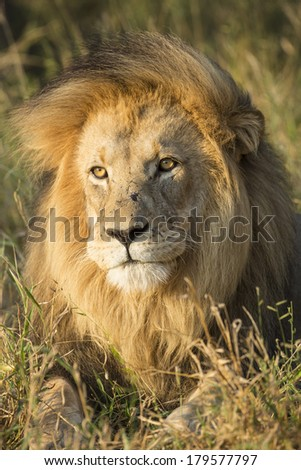 Male African Lion portrait in South Africa's Private Game Reserve