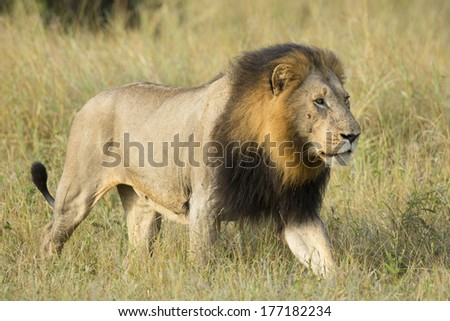 Male African Lion walking in South Africa's Private Game Reserve - stock photo