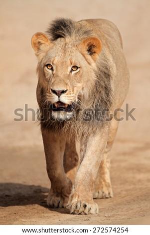 Male African lion walking (Panthera leo), Kalahari desert, South Africa - stock photo