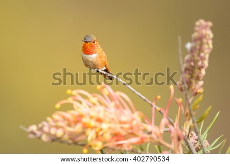 Male Allen's Hummingbird and grevillea flowers