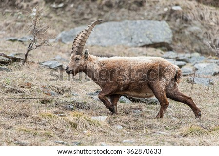 Male Alpine ibex, on a mountain slope in Alps