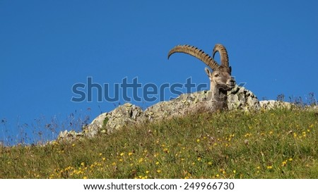 Male alpine ibex resting on a mountain meadow - stock photo