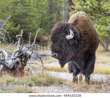 Male American bison (Bison bison) in the Yellowstone National Park, Wyoming, USA