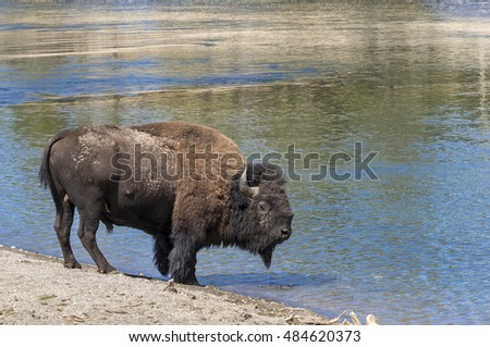 Male American bison (Bison bison) near theYellowstone River, Yellowstone National Park, Wyoming, USA.