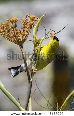 Male American Goldfinch eating aphids in a dill plant