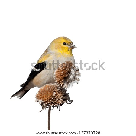 Male American Goldfinch in winter plumage, perched on top of dry wild sunflower seedpods; isolated on white - stock photo
