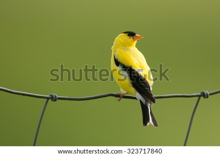 Male American goldfinch (spinus tristis) on wire fence against muted green background - stock photo