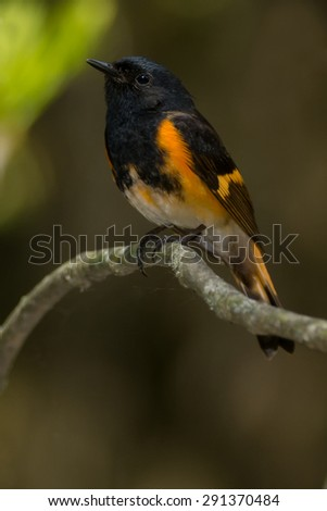 Male American Redstart perched on a branch. - stock photo