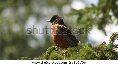 Male American robin in spruce tree watching his nest