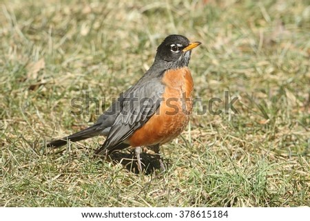 Male American Robin (Turdus migratorius) looking for worms on a lawn - stock photo