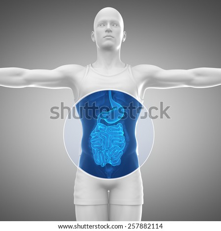 Male anatomy concept Stomach and guts - stock photo