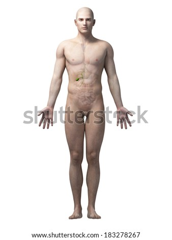 male anatomy stock images, royalty-free images & vectors, Human body