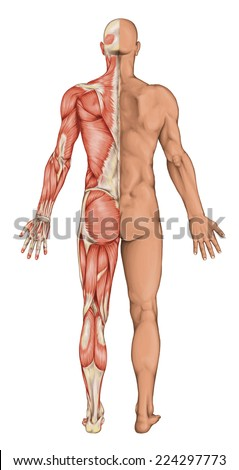 Male anatomy, man's anatomical body, human muscular system, surface anatomy, body shapes,posterior view, full body