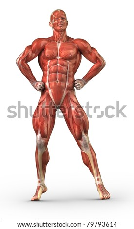 Male Anatomy Muscular System Bodybuilder Position Stock Illustration ...