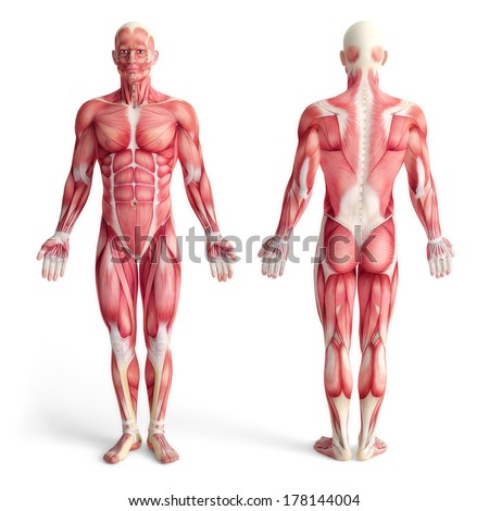 male anatomy of muscular system - front and back view - stock photo