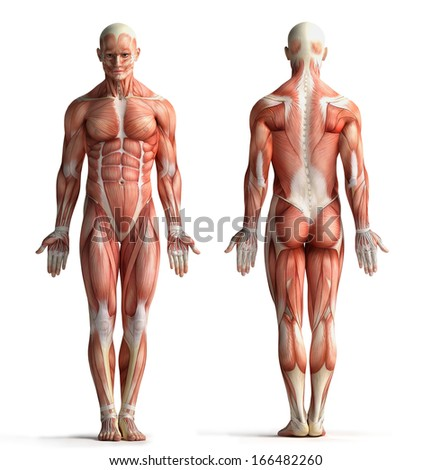male anatomy view - stock photo