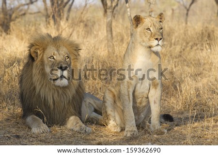 Male and a young female African Lion (Panthera leo), South Africa - stock photo
