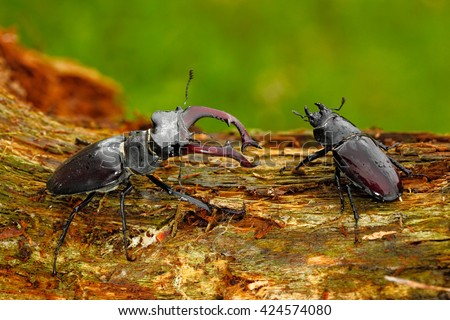 Male and famale of insect. Stag beetle, Lucanus cervus, big insect in the nature habitat, old tree trunk, clear orange background, Czech Republic. Insect in the forest. Two insect sitting on branch. - stock photo