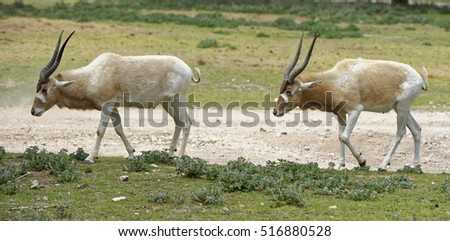 Male and female Addax antelope pair in single file motion