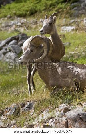 Male and female bighorn sheep in Banff National Park (Alberta, Canada) - stock photo