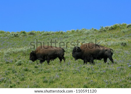 Male and Female Bison during fall rut, Yellowstone National Park, USA - stock photo