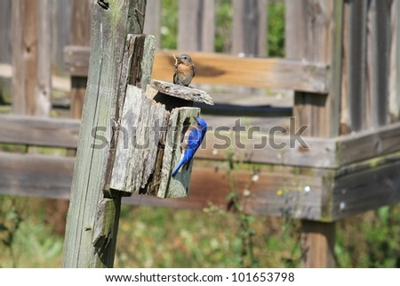 Male and female Bluebird busy with the nest - stock photo