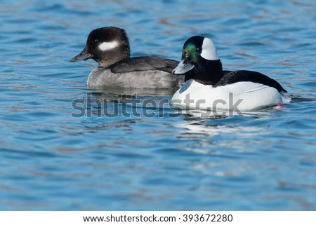 Male and female Bufflehead swimming in the open water.