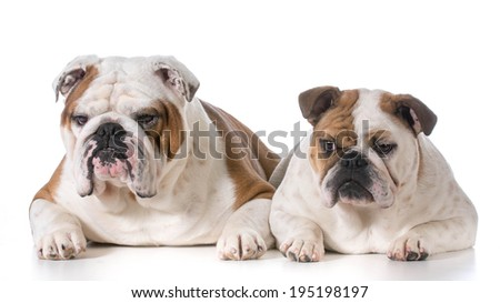 male and female bulldog laying down