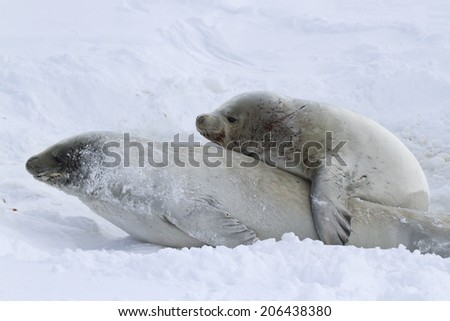male and female crabeater seal during the breeding season