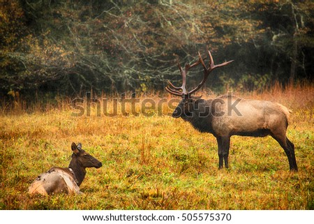 Male and female elk pose during the rut in Cataloochee Valley Smoky Mountains National Park North Carolina