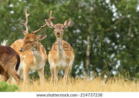male and female fallow deers ( Dama ) - stock photo