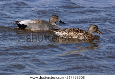 Male and female Gadwall swimming in open water.  - stock photo