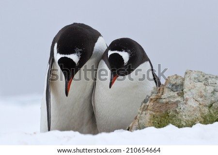 male and female Gentoo penguins which stand side by side and bowed their heads - stock photo