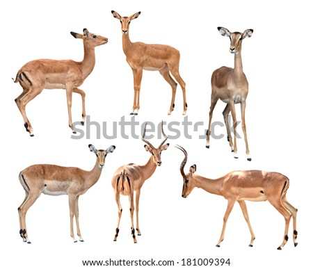 male and female impala isolated collection on white background - stock photo