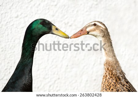 Male and female Indian Runner Duck, Anas platyrhynchos domesticus - stock photo