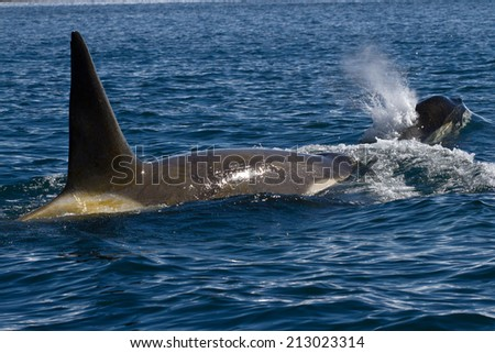 male and female killer whale swimming in Antarctic waters - stock photo