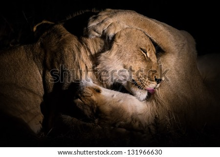 Male and female lion cuddle at night - stock photo