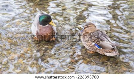 Male and female mallard ducks (Anas platyrhynchos) - stock photo