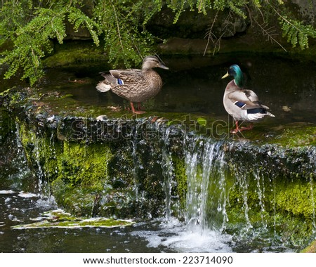 Male and female  mallard ducks (Anas platyrhynchos) above a small waterfall with a dark cave behind them.  Both standing facing each other. - stock photo