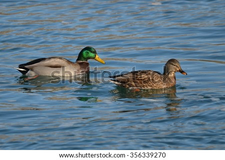 Male and female Mallard Ducks (Anas platyrhynchos) together - stock photo