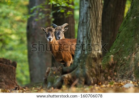 Male and female mouflon standing in the forest behind the tree and watching, blurred background - stock photo