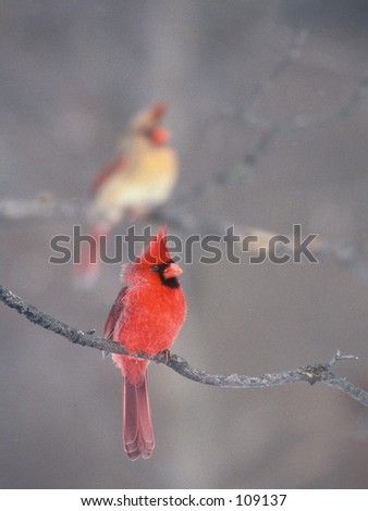 Male and female North American cardinals perched in Winter.