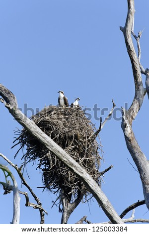 Male and female osprey, also known as sea hawks, in a nest against a clear blue sky.