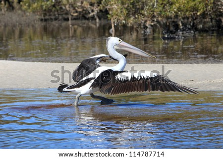 "Male and Female pair of Royal spoonbill ""Platalea regia"" - stock photo"