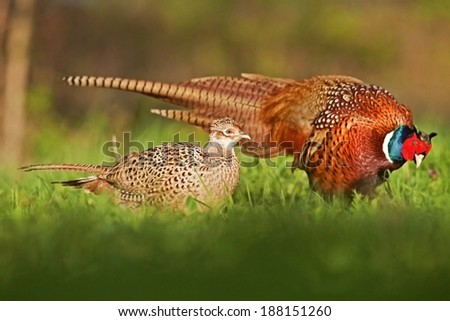 Male and female pheasant / Phasianus colchicus / during the mating season, blurred background, horizontal orientation - stock photo