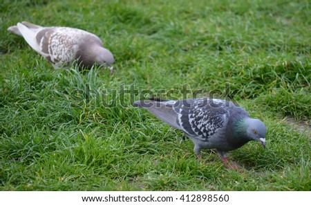 Male and Female Pigeon in grass  - stock photo