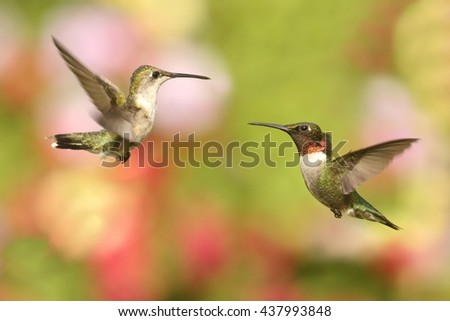 Male and female Ruby-throated Hummingbirds (archilochus colubris) in flight with a colorful background - stock photo