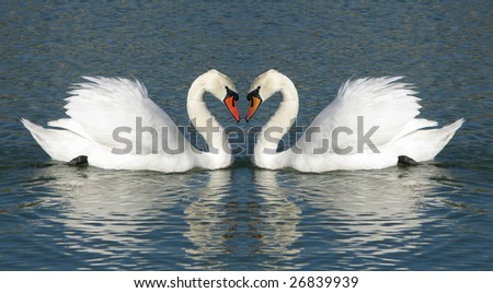 Male and Female swans in a heart shaped embrace - stock photo